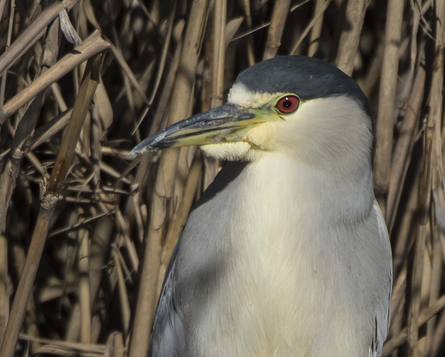 black-crowned night heron close up