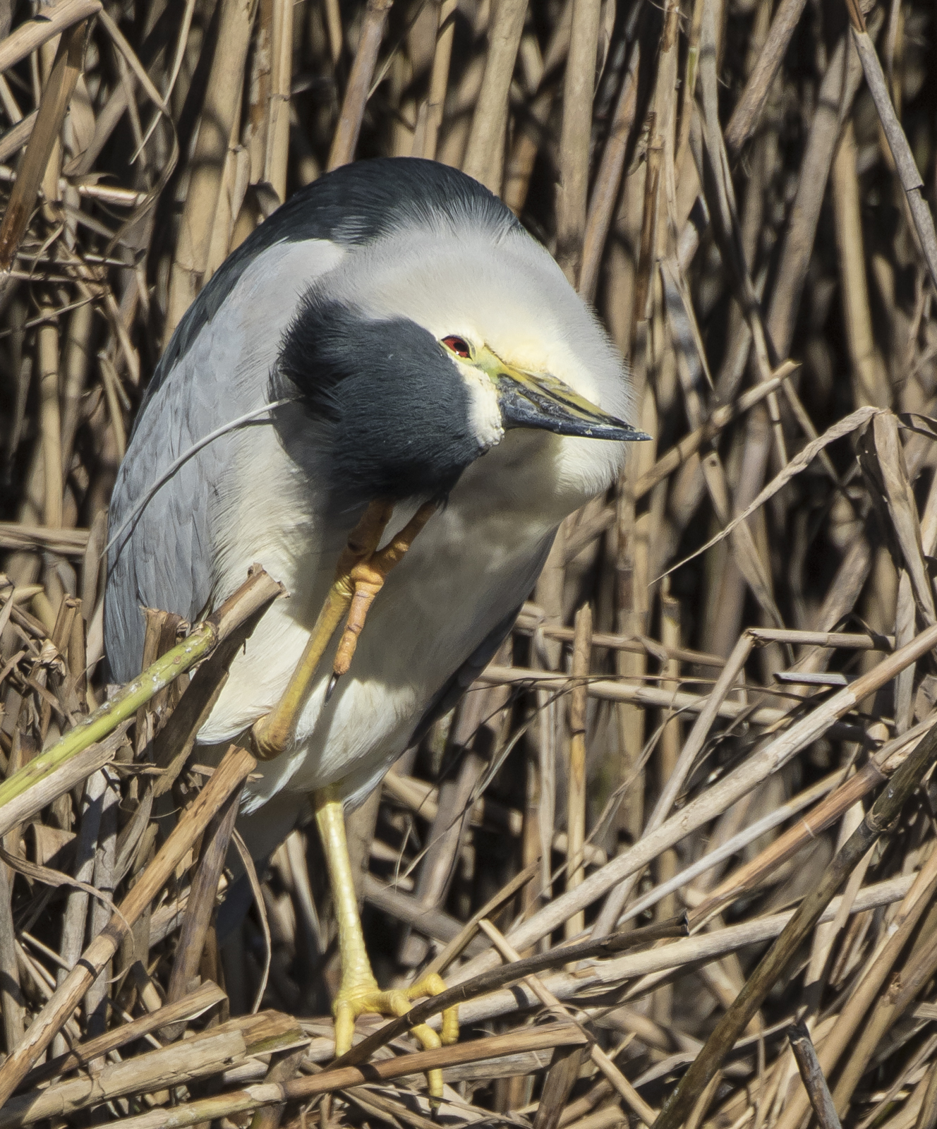 black-crowned night heron scratching