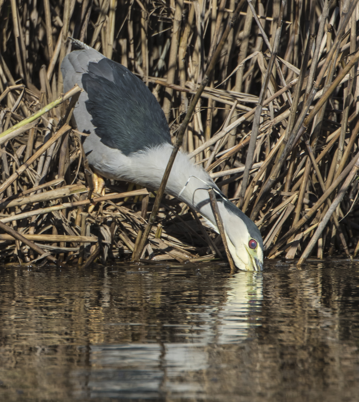 black-crowned night heron strikig at prey