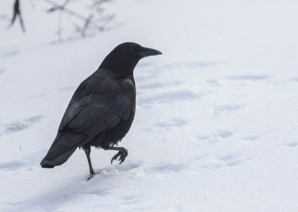 club-foot crow