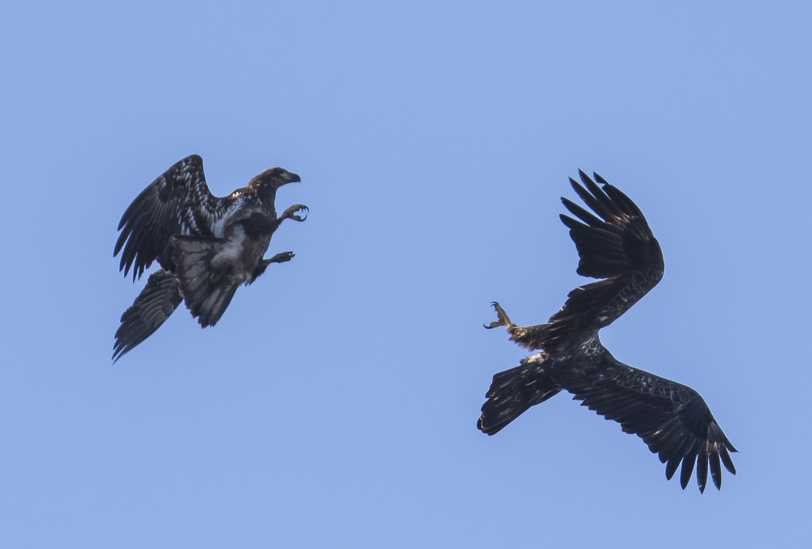 eagles tangling in mid-air 1