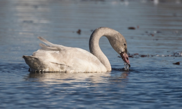 Immature swan feeding