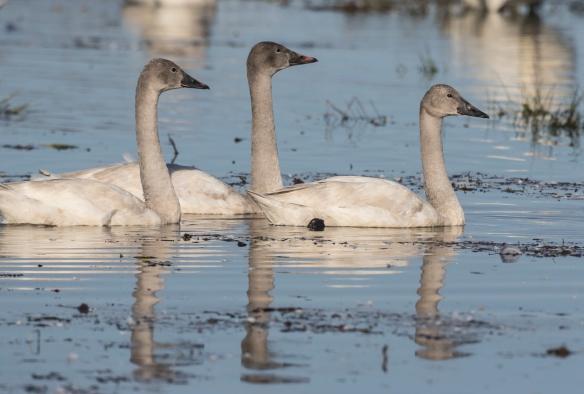 Juvenile swans