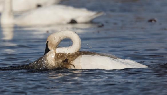 Swan bathing 1
