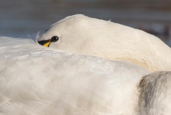 swan closeup