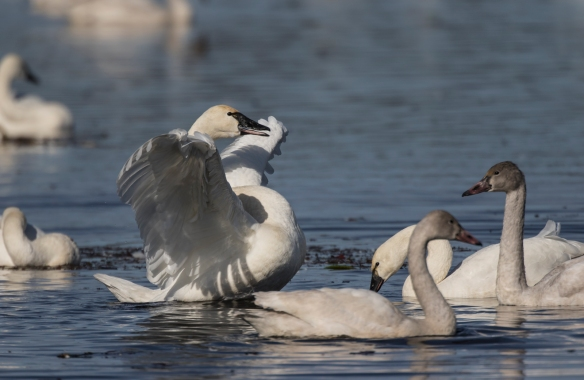 Swan readying a wing flap 1