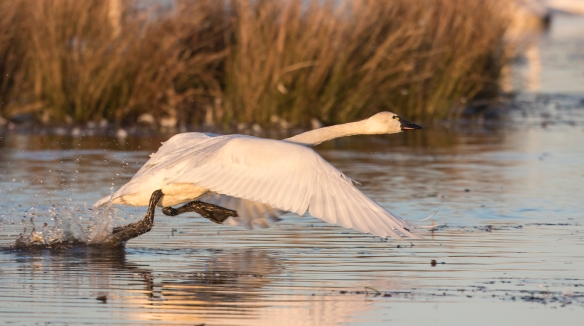 Swan taking off 2