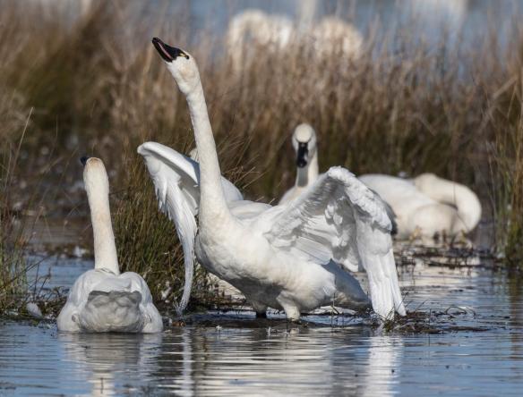 Swan trumpeting 2