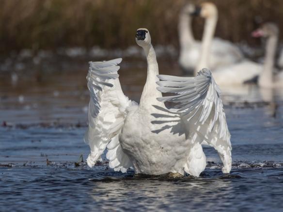 Swan wing flap 1