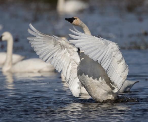 Swan wing flap