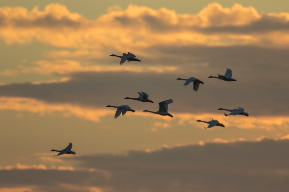 Swans at sunset 1