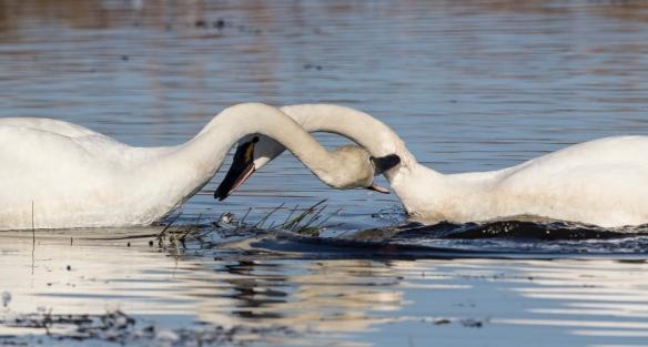 Swans biting
