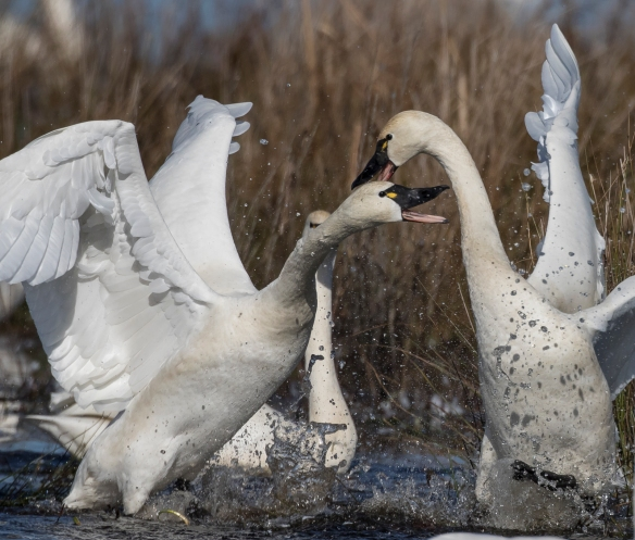 Swans fighting 3