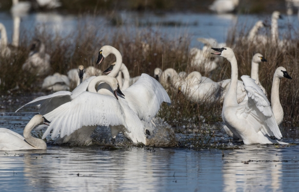 Swans fighting 4
