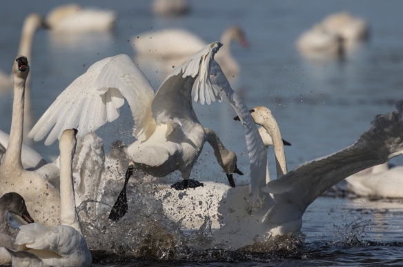 Swans fighting 6