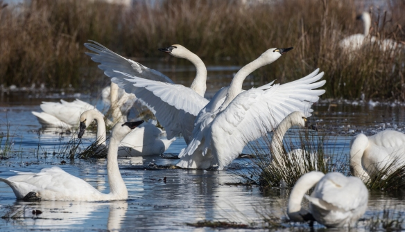 Swans flapping in unison