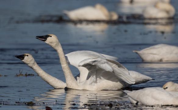 Swans trumpeting 1