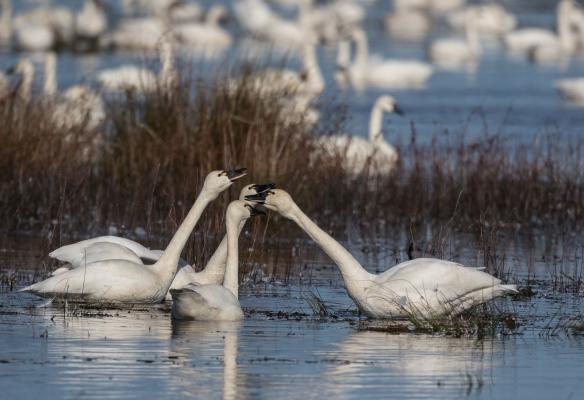 Swans trumpeting