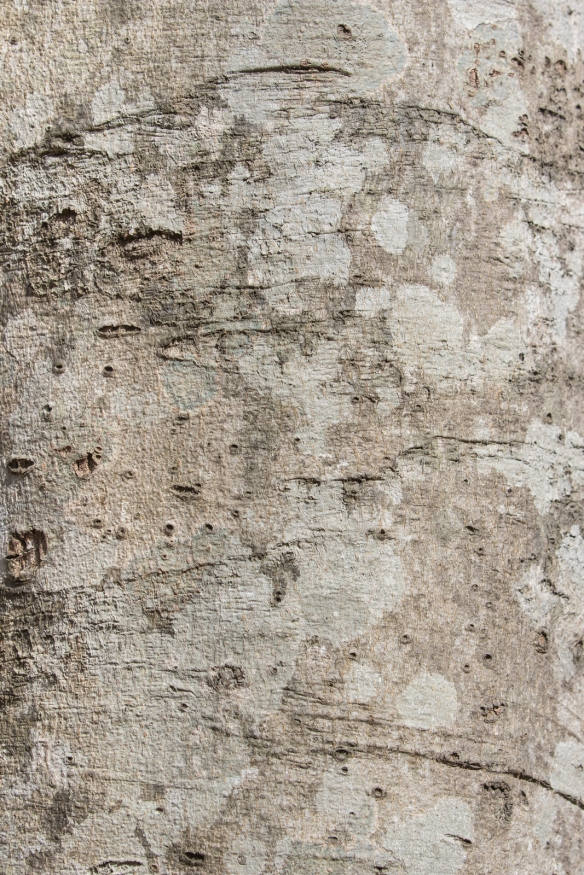 American beech trunk