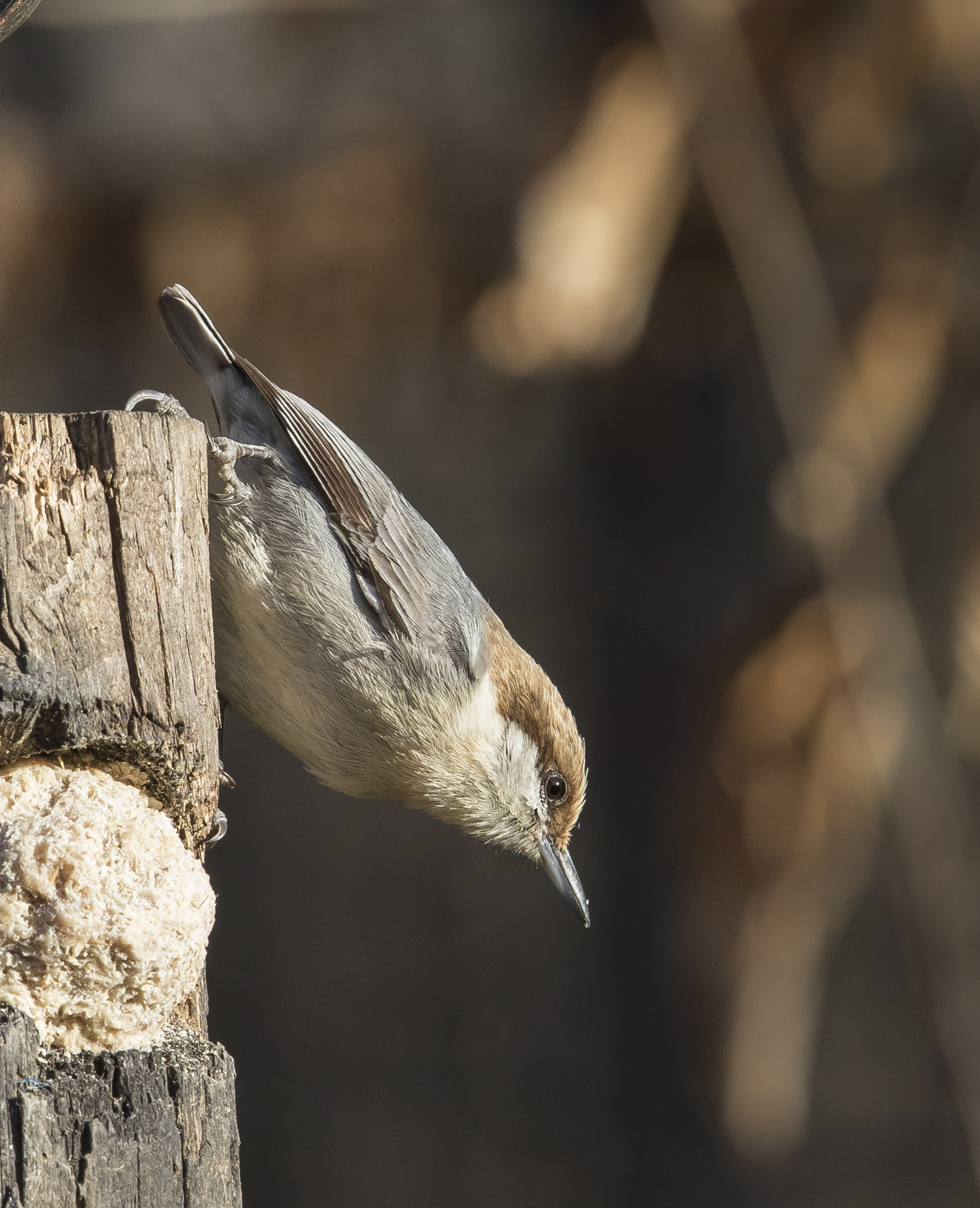 brown-headed nuthatch on suet log