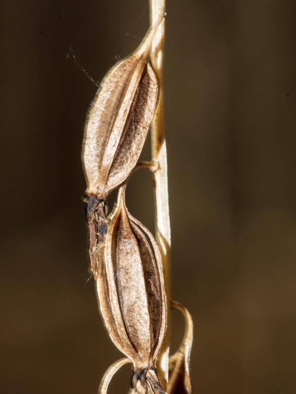 cranefly-orchid-7