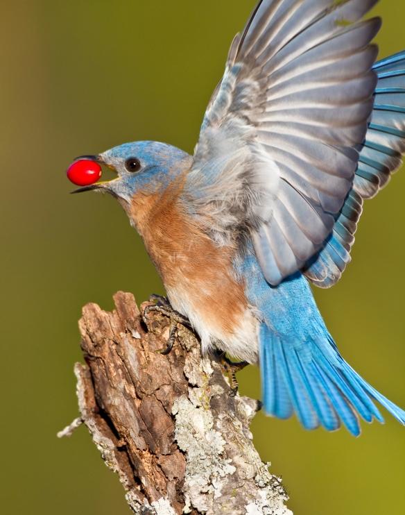 Eastern Bluebird with Dogwood berry