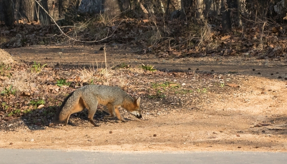 Gray fox at the garden