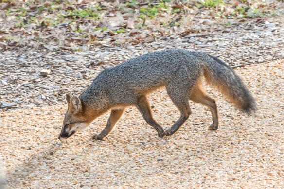 Gray fox in the Children's Wonder Garden