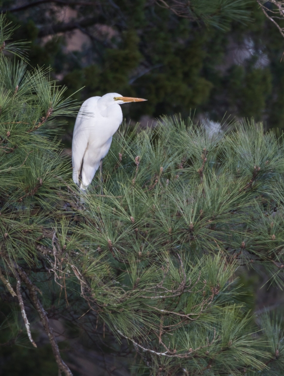 Great egret coming to roost