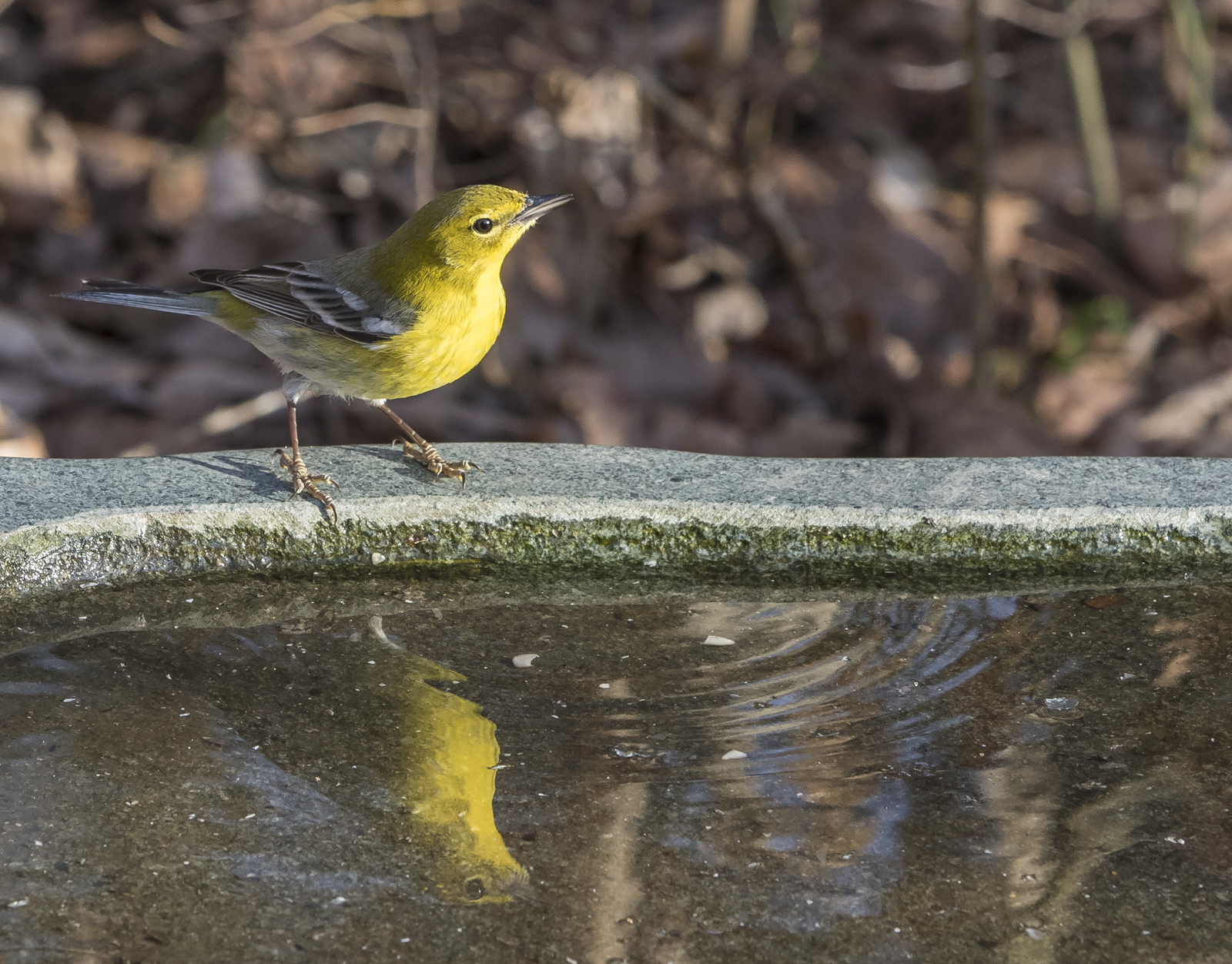 pine warbler and reflection