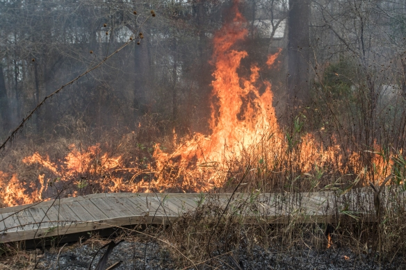 Prescribed burn in coastal plain habitat