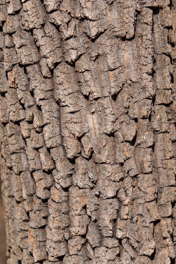 Sourwood trunk