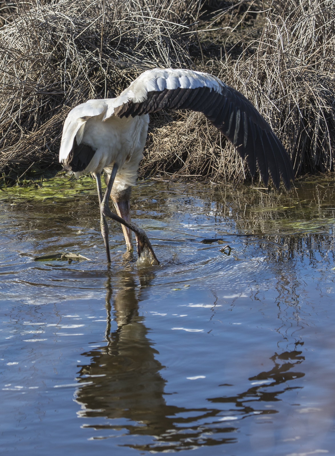wood stork wing outstretched while feeding