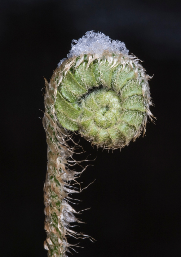 Christmas fern fiddlehead and snow