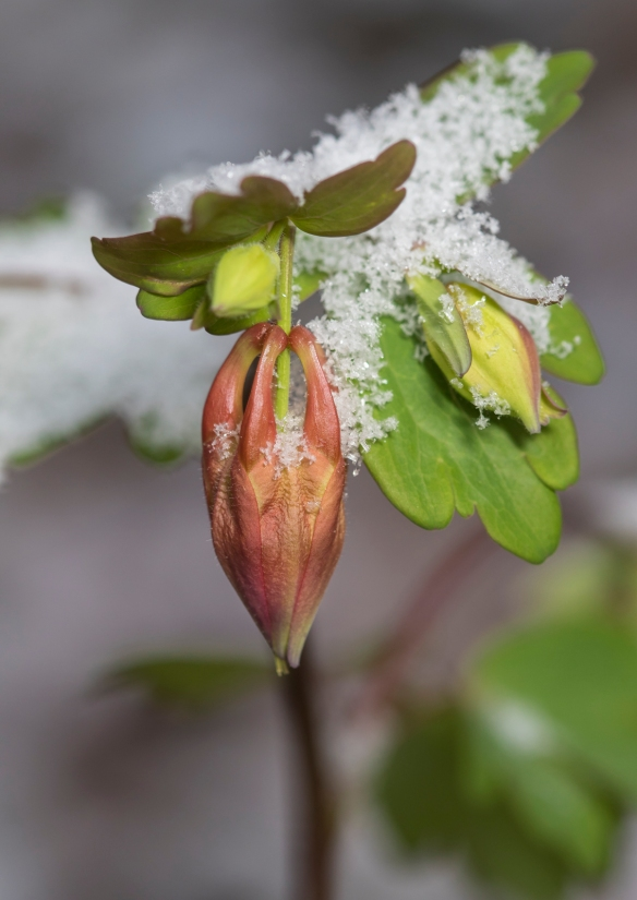 Columbine bud in snow