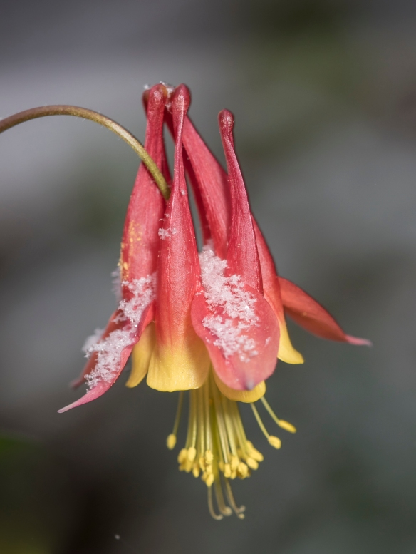 Columbine in snow