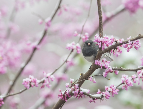 Junco in redbud with snow