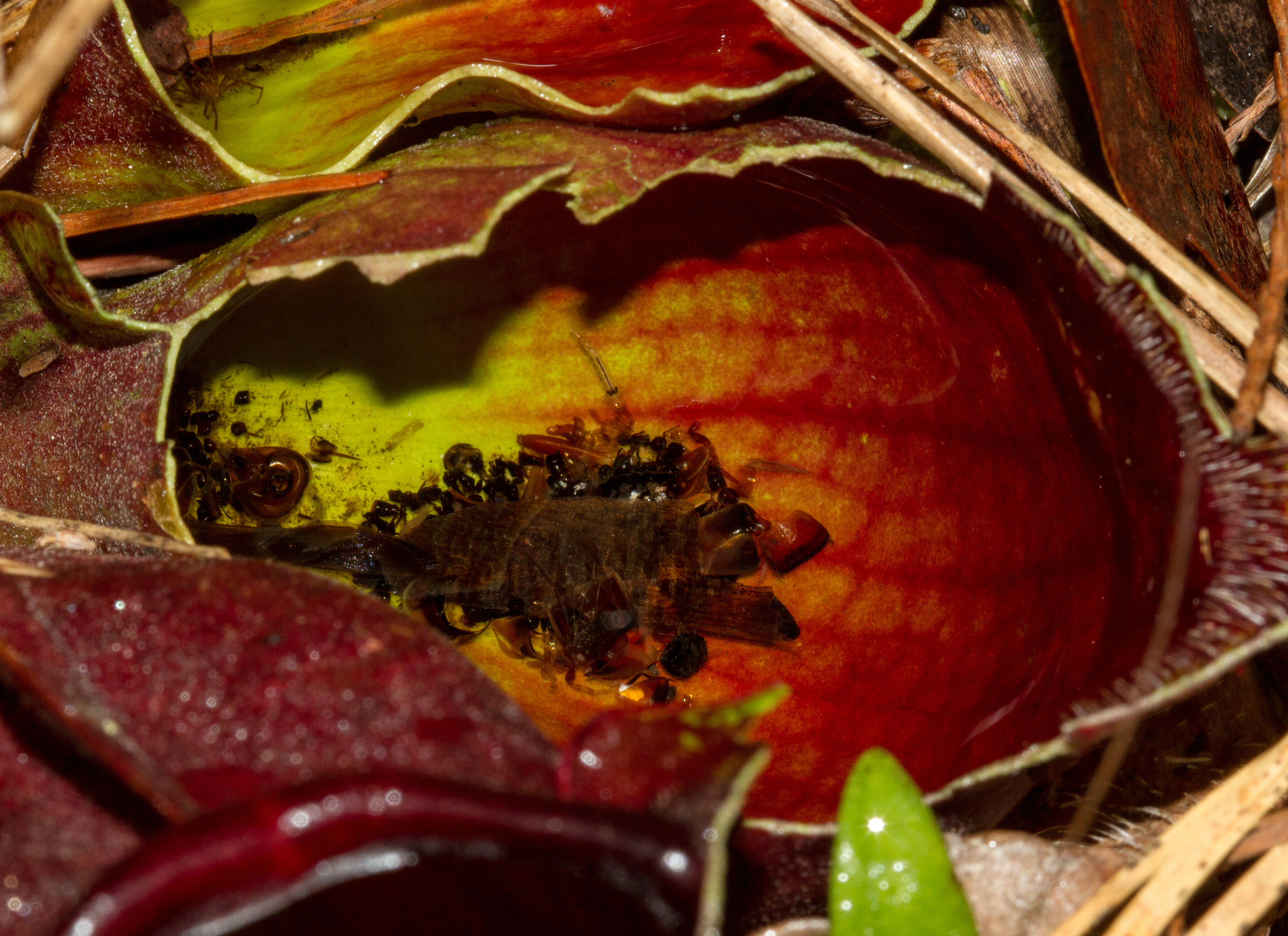 Purple pitcher plant leaves filled with water