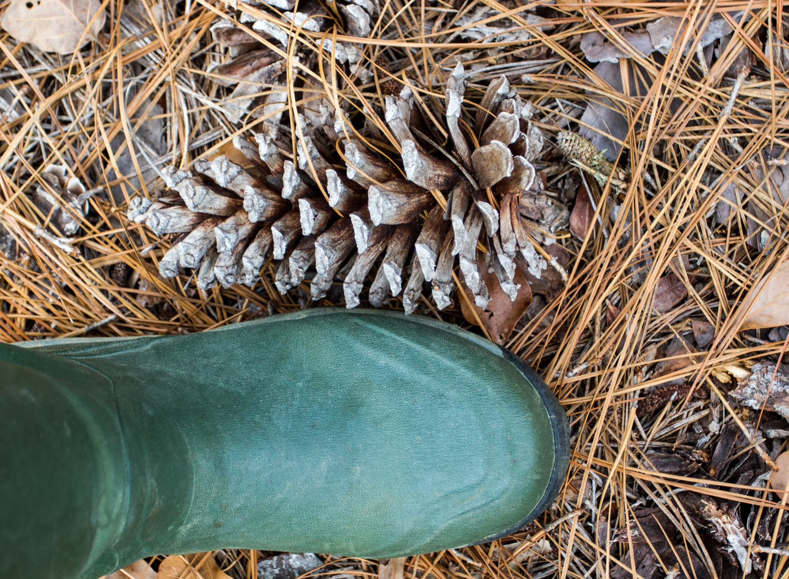 Large pine cone next to rubber boot