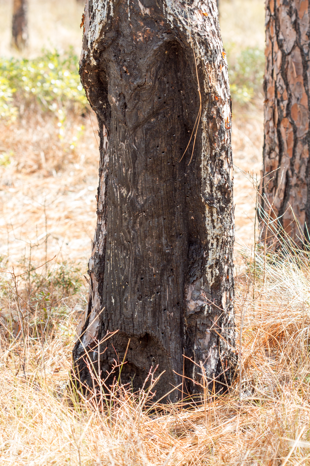 Dead longleaf tree showing cat-face markings