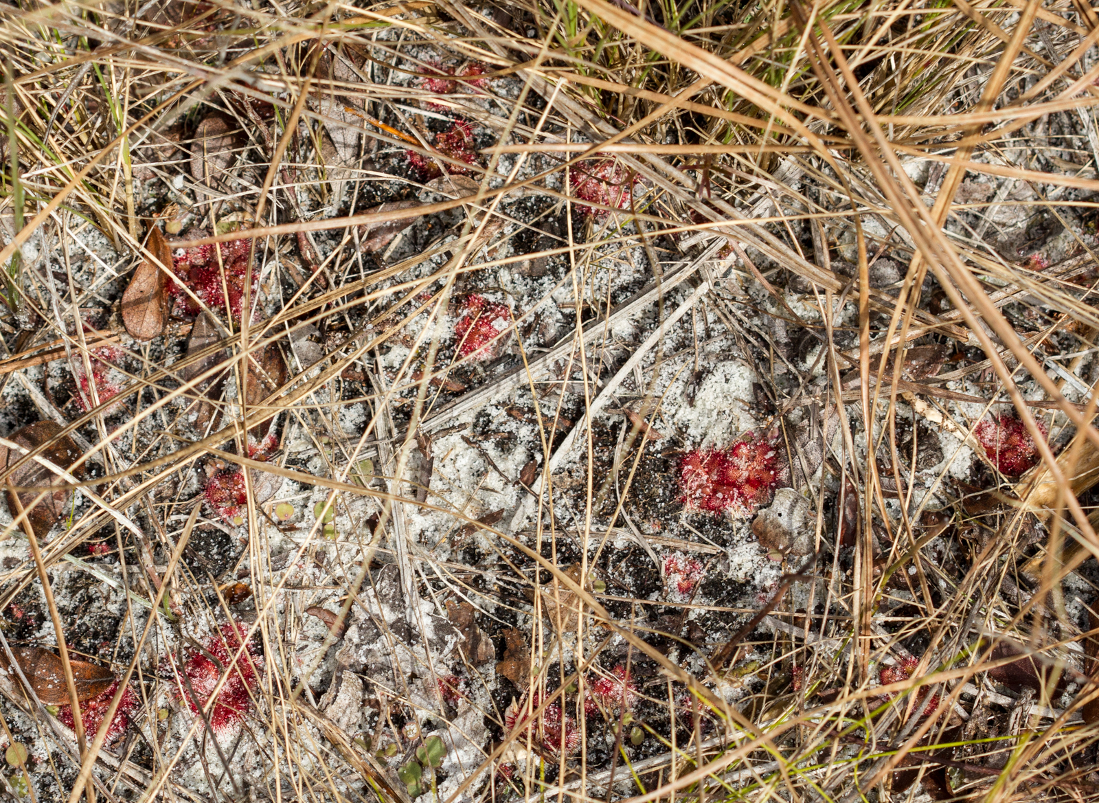 Sandy soil with small, red sundew plants