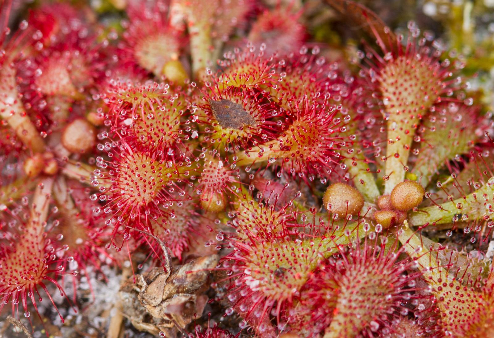 Close up of sundew plant