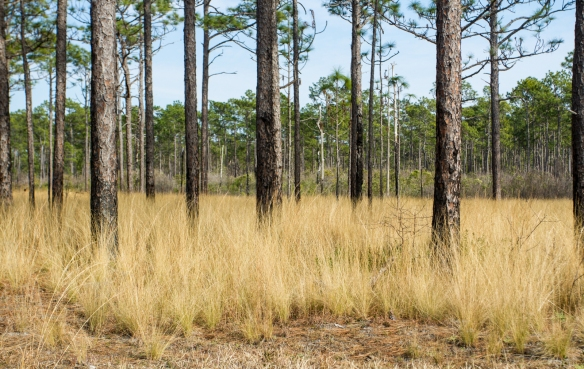 longleaf savanna-29