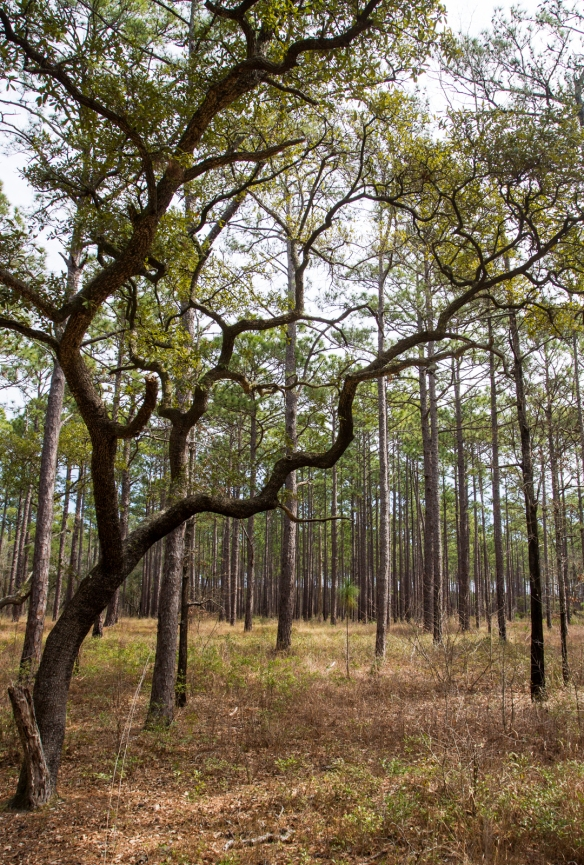 longleaf savanna-8