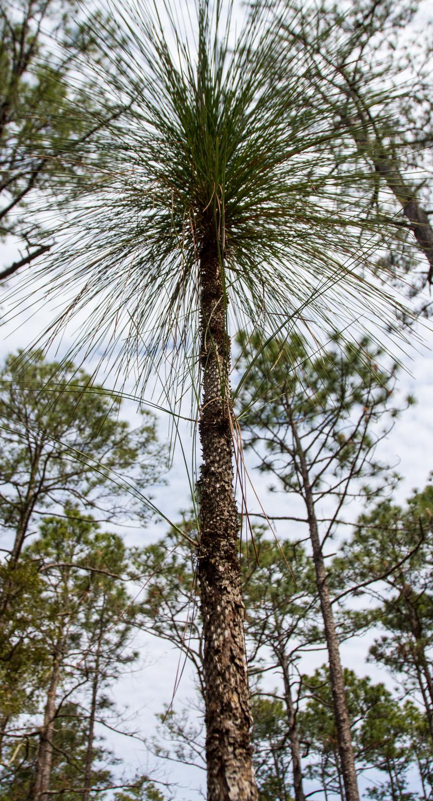 Early phase of longleaf pine when it looks like a bottle