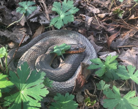 Redbellied Water Snake