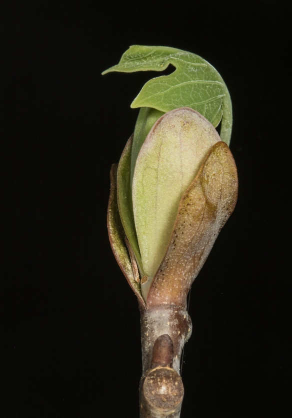 Tulip poplar leaf unfurling 1