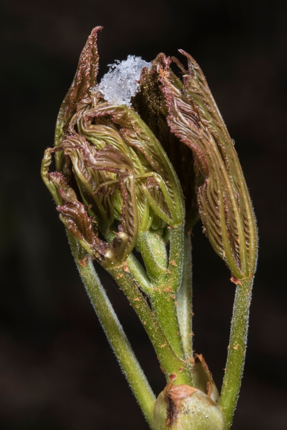 Unfurling painted buckeye and snow cruystals