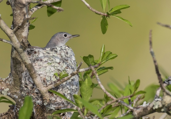 Blue-gray gnatcatcher in nest 3