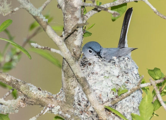 Blue-gray gnatcatcher in nest 5